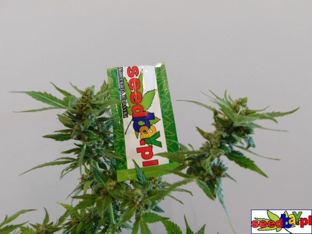galeria, marihuany, seedbay, thc-thc
